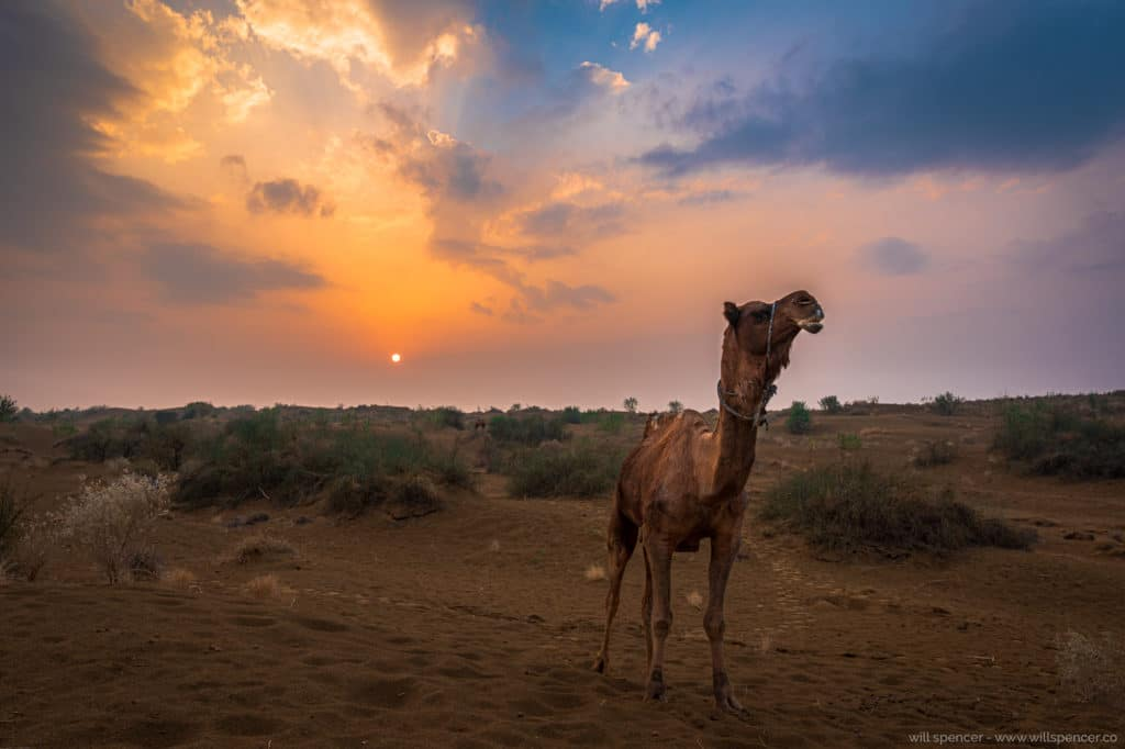 Tahr desert camel